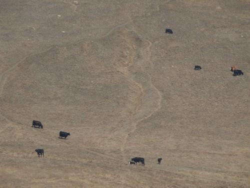 Capi di bestiame, Foto di Gloria