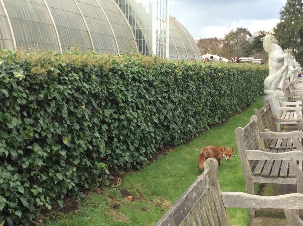 Una volpe tra il verde dei giardini