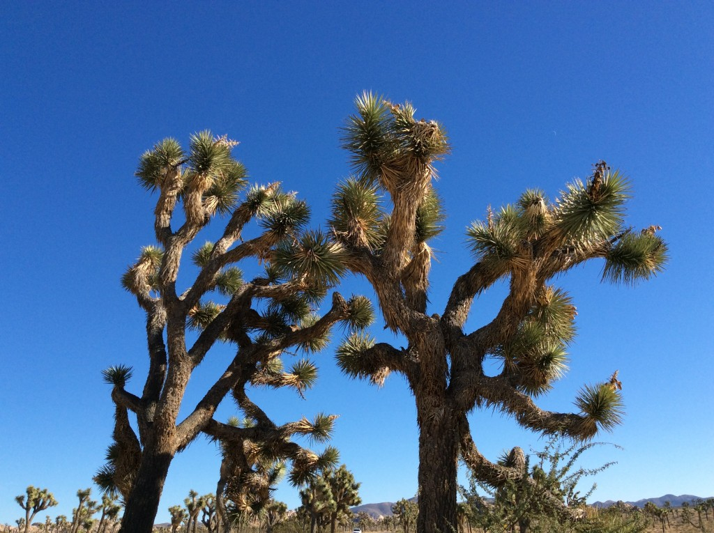 Gli alberi di giosuè